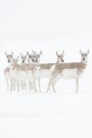 standing still... Pronghorns *Antilocapra americana*