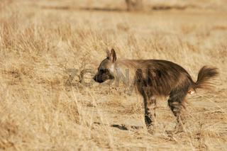 Brown Hyaena - defecating - Kalahari-South Africa