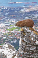Dassie, at the edge of Table Mountain, overlooking beautiful Cape Town, South Africa