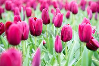 Beautiful purple tulips. Spring landscape.