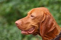 Hundeportrait - Magyar Vizsla