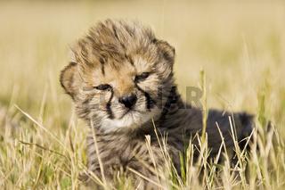 Geparden Kaetzchen (Acinonyx jubatus), Namibia, Afrika, Cheetah kitten, Africa