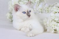 SACRET CAT OF BIRMA, BIRMAN CAT, BLUEPOINT, KITTEN,