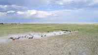cattle on a dry prairie in western Nebraska