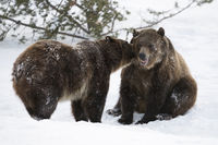 telling secrets... Grizzly bears *Ursus arctos horribilis*