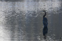 standing in water... Great blue heron *Ardea herodias*