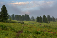 Coniferous forest in the fog on the slope of mountains. Altai Krai.