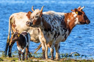 Cows with calves standing on the beach