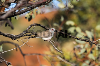 Diamond dove sitting on a branch, Kings Canyon, Northern Territory