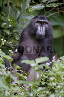 Gorontalo-Makak / Dumoga-bone Macaque, Gorontalo Macaque / Macac