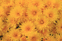 Blooms of Yellow Fall (Autumn) Mums
