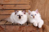 SACRED CAT OF BIRMA, BIRMAN CAT, BIRMAN, KITTEN, LITTER, INTERESTEDLY,