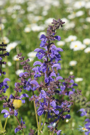 Salvia pratensis, Meadow Sage, with bee