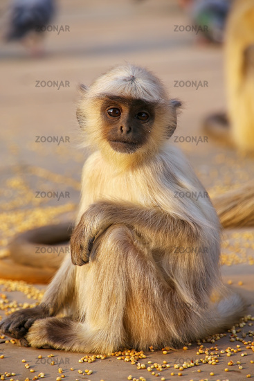 Baby gray langur sitting in Amber Fort near Jaipur, Rajasthan, India