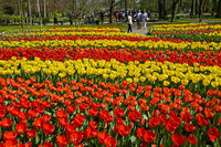 Flower beds with Dutch tulips, Keukenhof Flower Gardens, Lisse, Netherlands