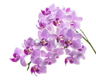 Violet orchid branch