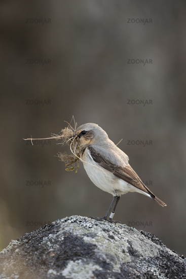 nesting preparations... Northern Wheatear *Oenanthe oenanthe*