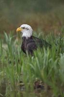 on the ground... Bald Eagle *Haliaeetus leucocephalus*
