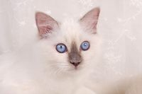 SACRED CAT OF BIRMA, BIRMAN CAT, KITTEN, BLUE-POINT, CLOSEUP,