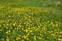 Wiese mit Hahnenfuß (Ranunculus)