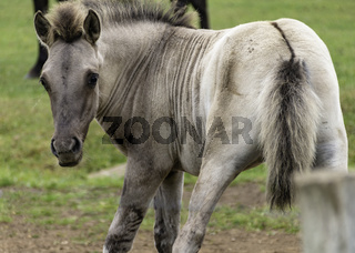 Vorwitziges Fohlen, wild lebende Pferde im Merfelder Bruch, Dülmen, Nordrhein-Westfalen, Juni,