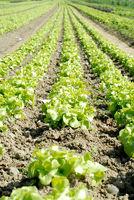 salad acre