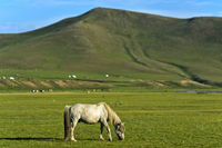 Grey horse stallion feeding on a pasture in the Orkhon Valley, Mongolia