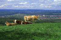 cows in front of a city