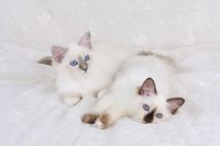 SACRED CAT OF BIRMA, BIRMAN CAT, BIRMAN, LITTER, BLUE-POINT, SEAL-POINT,