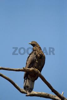 Oriental Honey Buzzard, Pernis ptilorhynchus, Tadoba Andhari Tiger Reserve, Maharashtra