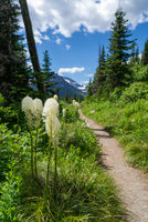 Bear grass along a trail in Glacier National Park