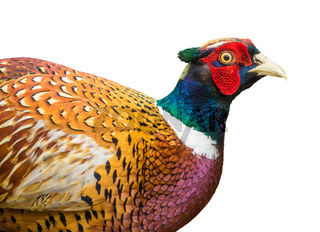 Isolated Pheasant Detail