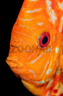 Portrait of orande head of discus fish