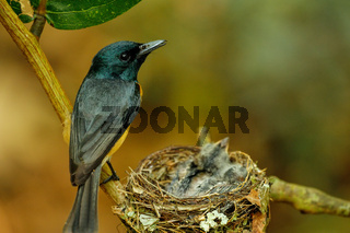 Female Vanikoro Broadbill (Myiagra vanikorensis) sitting by the nest on Viti Levu Island, Fiji