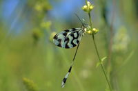 Nemoptera or Spoonwings – not a butterfly and not a dragonfly