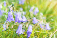 Wet blue flowers bluebell