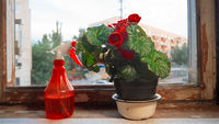 Houseplant with big red flowers and red sprinkler on obsolete windowsill in front of window