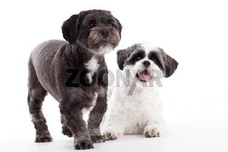 2 shi tzu dogs in the studio