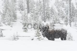 leise rieselt der Schnee...  Amerikanischer Bison *Bison bison*