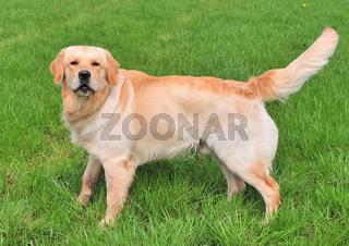 Golden Redriever
