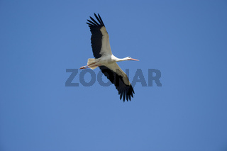 Weissstorch fliegend, White stork flying