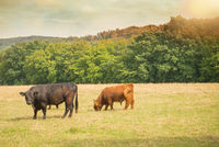 Galloway cattle on the re