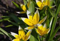 Wildtulpe Tulipa tarda - wild tulip Tulipa tarda
