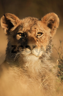 Portrait lion cubs - Portrait Loewenjunges