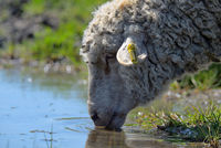 Sheep drinking water