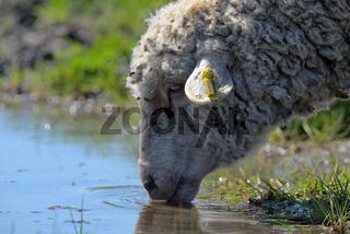 Sheep drinking water