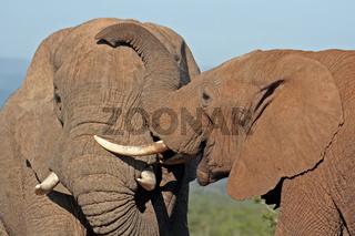 Zwei Elefanten, Südafrika