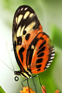 Large tiger butterfly