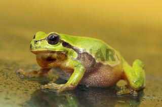 full length green tree frog walking on wet glass ( Hyla arborea )