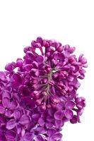 Flieder Blüten wd704